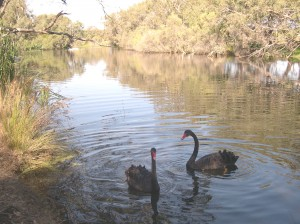 2 swans on river